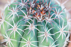 Spina dorsale alta chiusa del cactus in vaso di fiore Immagini Stock Libere da Diritti