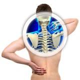 Spina dorsale cervicale isolata sul concetto REALE bianco- di anatomia Fotografie Stock