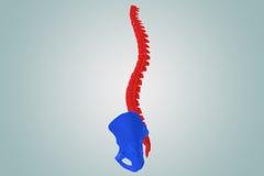 Spina dorsale con l'anca Fotografie Stock Libere da Diritti