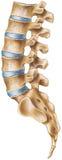 Spina dorsale - regione lombare fotografie stock