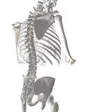 Spina dorsale umana illustrazione di stock