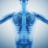Spina dorsale umana Fotografie Stock