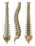 Spina dorsale umana illustrazione vettoriale