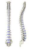 Spina dorsale umana dal lato e dalla parte posteriore illustrazione vettoriale