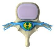 Spina dorsale umana in dettaglio Immagini Stock Libere da Diritti