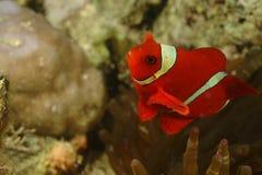 Spina-guancia Anemonefish, isola di Perhentian, Terengganu Immagine Stock