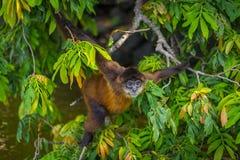 Spinaap in Nicaragua royalty-vrije stock afbeeldingen