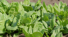 Spinach. An image of green Spinach Stock Photography