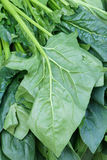 Spinach. The close-up of spinach leaves Royalty Free Stock Photos