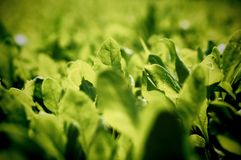 Spinach Royalty Free Stock Photography