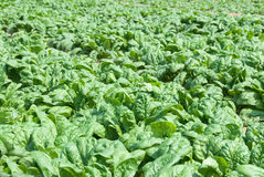 Spinach. Organic spinach in a field ready for picking. Shallow DOF with focus near front of image Royalty Free Stock Image