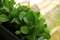 Spinach. Dark green spinach growing in planter on deck royalty free stock photography