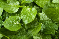 Spinach  background Royalty Free Stock Image