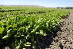 Spinach Crop Royalty Free Stock Images