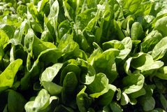 Spinach Crop Stock Photo