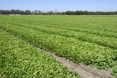 Spinach Crop Royalty Free Stock Image