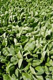 Spinach Crop Royalty Free Stock Photos
