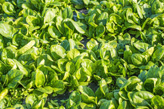 Spinach field Royalty Free Stock Image