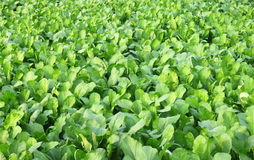 Spinach field Stock Photos