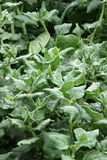 Spinach fresh on the garden bed Royalty Free Stock Images