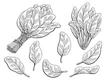 Spinach graphic black white isolated sketch illustration Royalty Free Stock Photo