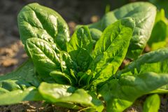 Spinach growing in garden. Royalty Free Stock Photo
