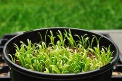 Spinach grown at backyard stock photo
