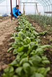 Spinach harvest Stock Photography
