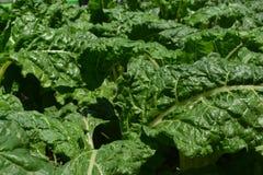 Spinach Kales Intercrop Stock Photo