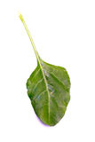 Spinach leaf Stock Photography