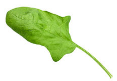 Spinach leaf Royalty Free Stock Photography
