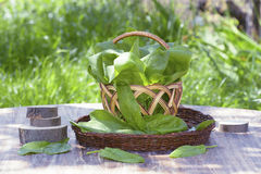 Spinach leaves in a basket. On a wooden table with a background of green grass Stock Photos