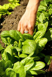 Spinach leaves, growing vegetables  Stock Photos