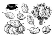 Spinach leaves hand drawn  set. Isolated Spinach leaves dr Stock Photography
