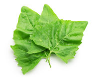 Spinach leaves isolated on the white background Stock Photography