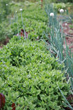 Spinach and onion plants. Organic spinach and onion plants in rural garden setting Stock Photo