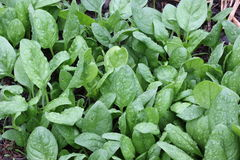 Spinach Patch Stock Photo