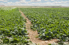 Spinach plantation Royalty Free Stock Image