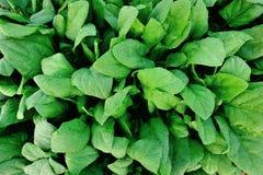 Spinach plantation Royalty Free Stock Photos