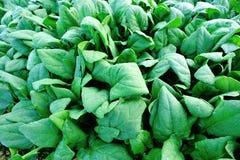 Spinach plantation Stock Image