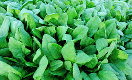 Spinach plantation Royalty Free Stock Images