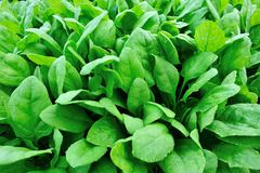 Spinach plantation Royalty Free Stock Photography
