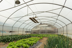 Spinach plantation in a modern greenhouse royalty free stock image