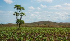 Spinach plantation with Papaya tree Kenya Royalty Free Stock Photography