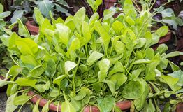 Spinach plants. In the pots royalty free stock photo