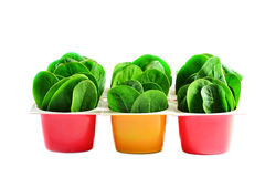 Spinach in pots Stock Photography