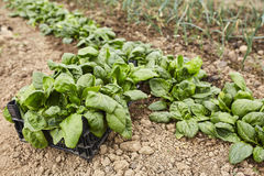 Spinach ready for harvest Royalty Free Stock Photos