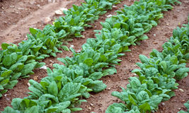 Spinach Ready for Picking. Fresh greens at a community farm Royalty Free Stock Photo