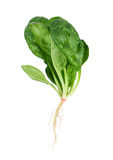 Spinach with root Stock Images