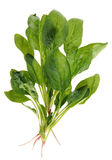 Spinach with root Stock Photography